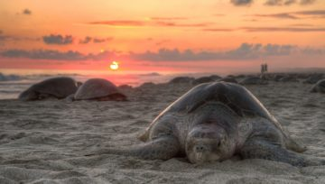 Better Research About Sea Turtles Can Help Gauge Ocean Plastic Pollution