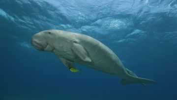 Dugong conservation in the UAE. Bu Tinah Island