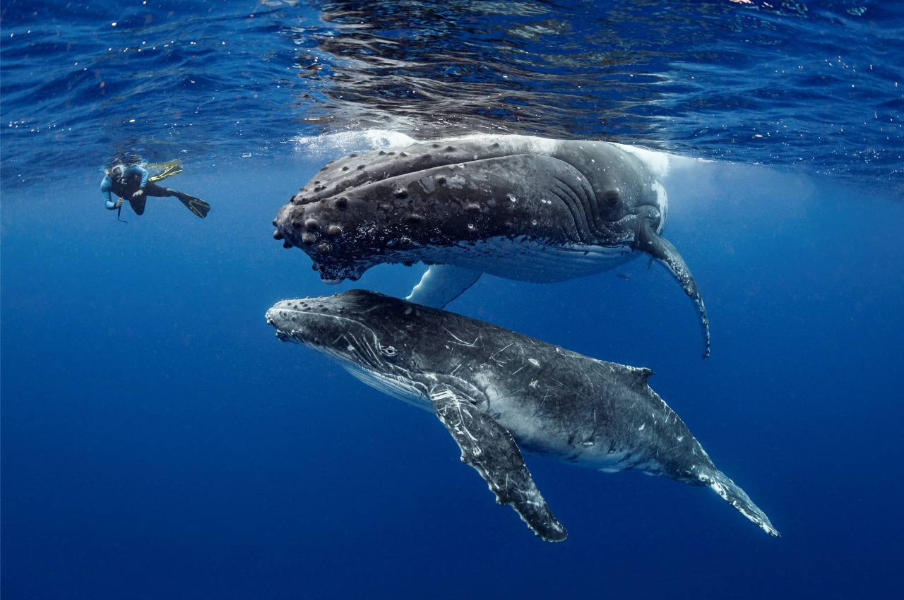 Swimming with Humpback Whales in Tonga - Freediving in United Arab Emirates. Courses, Certificates and Equipment