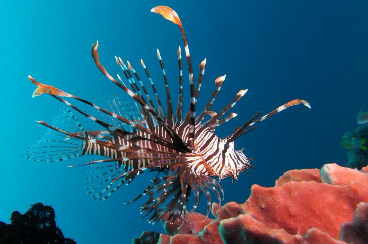 Lionfish – very beautiful and very dangerous sea creature - Freediving in United Arab Emirates. Courses, Certificates and Equipment