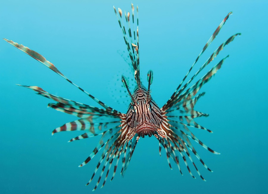 Lionfish - very beautiful and very dangerous sea creature