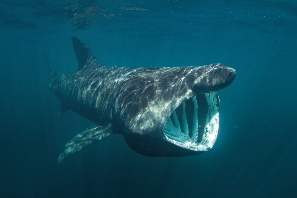 Basking shark - Freediving in United Arab Emirates. Courses, Certificates and Equipment