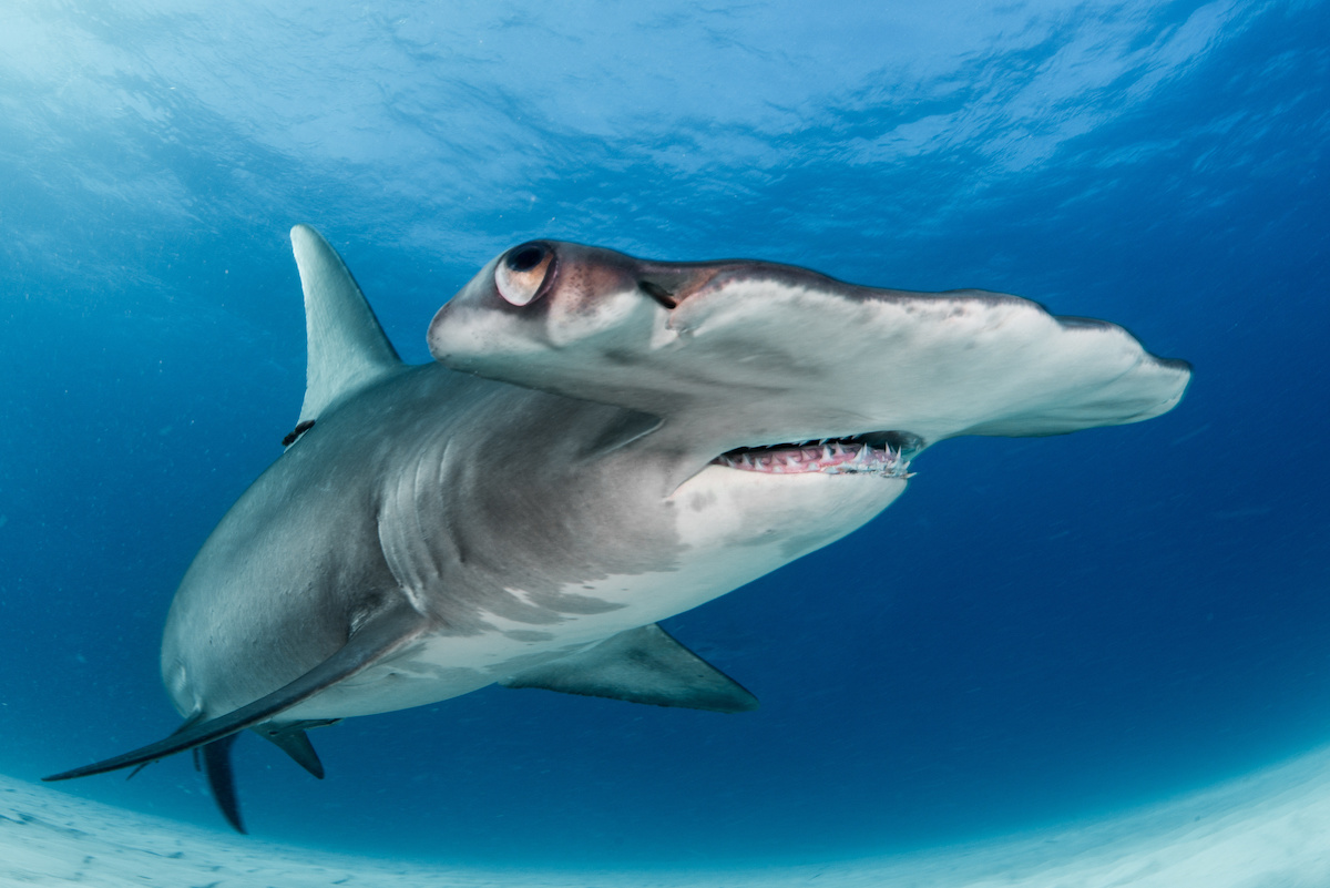 Great Hammerhead Shark - Freediving in United Arab Emirates. Courses, Certificates and Equipment