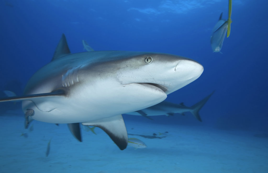 Grey Reef Shark - Freediving in United Arab Emirates. Courses, Certificates and Equipment