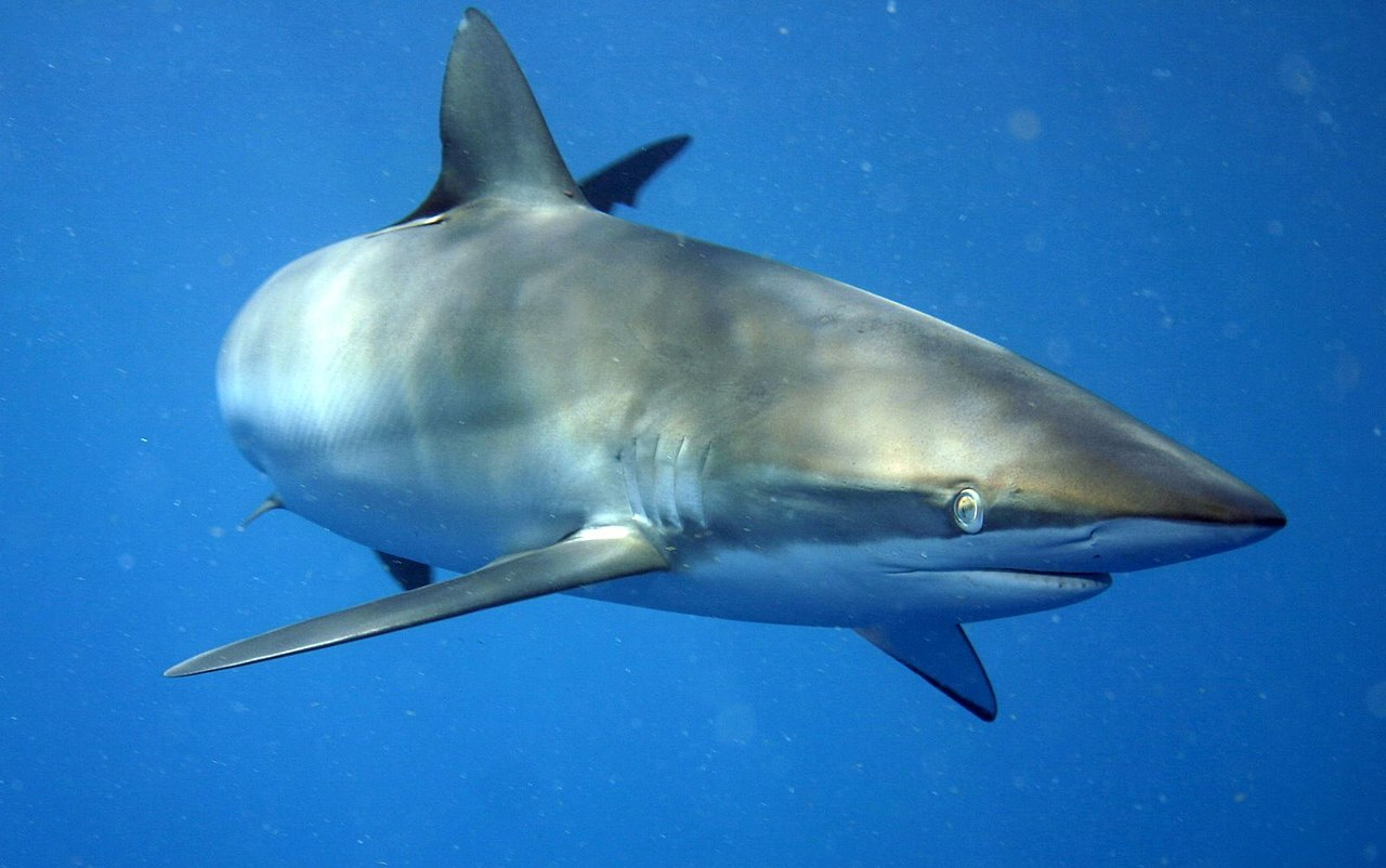 Pigeye shark - Freediving in United Arab Emirates. Courses, Certificates and Equipment