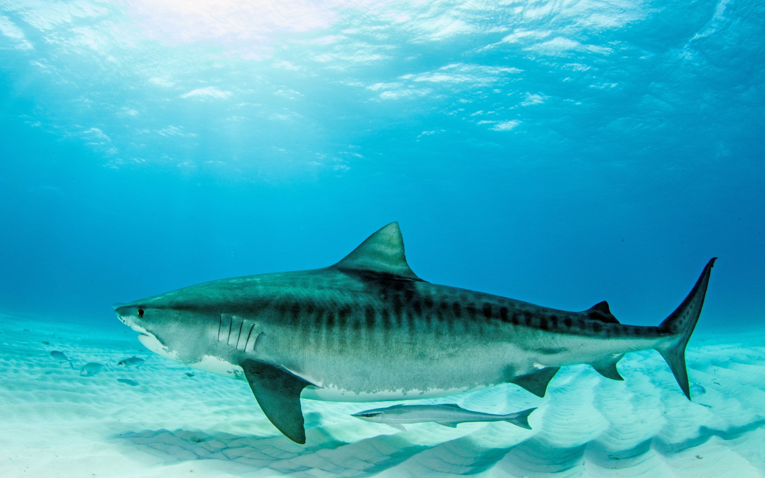 Tiger shark - Freediving in United Arab Emirates. Courses, Certificates and Equipment
