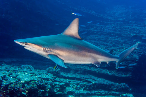 Sandbar Shark - Freediving in United Arab Emirates. Courses, Certificates and Equipment