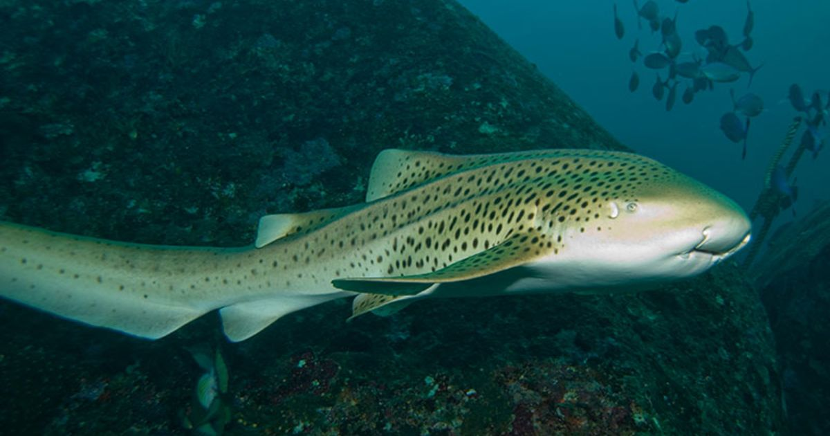 Zebra Shark - Freediving in United Arab Emirates. Courses, Certificates and Equipment