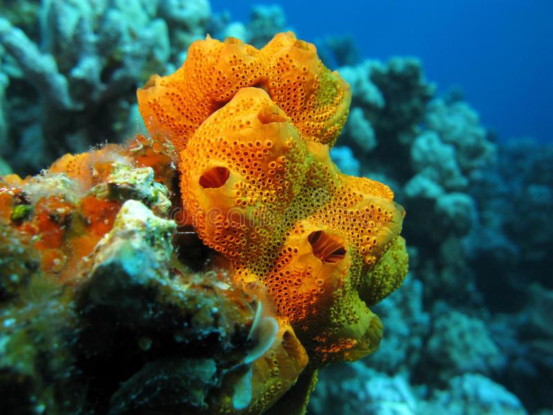 Sea sponges - Freediving in United Arab Emirates. Courses, Certificates and Equipment