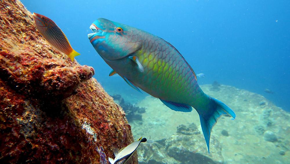 Parrot Fish - Freediving in United Arab Emirates. Courses, Certificates and Equipment