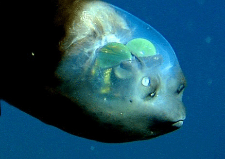 The fish with glass head: Barreleye fish - Freediving in United Arab Emirates. Courses, Certificates and Equipment