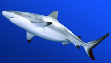 Graceful Shark